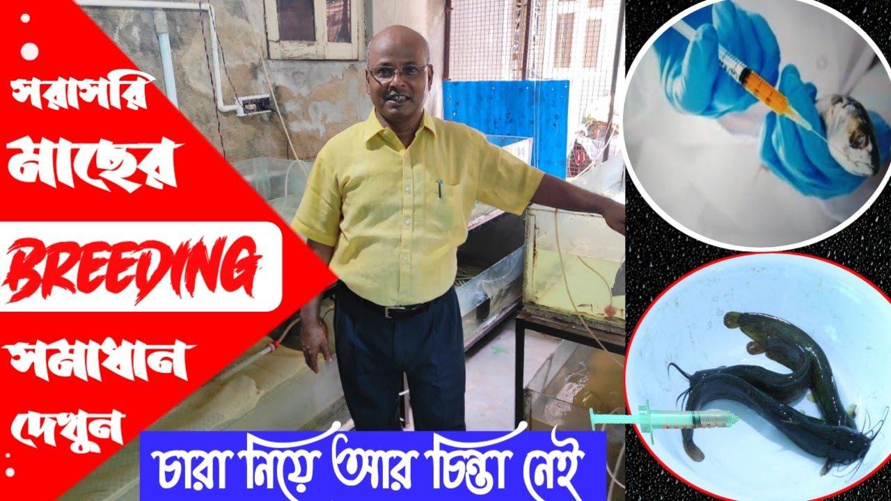 এখন থেকে বাড়িতেই মাছের চারা তৈরি করুন // How to breed Singhi, Magur, koi // Fish Eggs