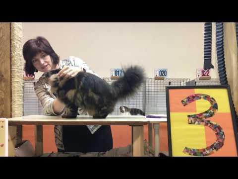 TICA Laura Cunninham Judging Persian Kittens