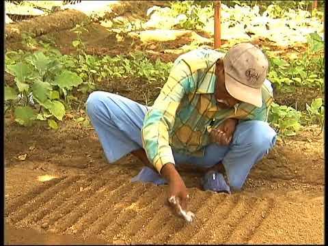 Krishi Darshan  - Cultivation of Cauliflower