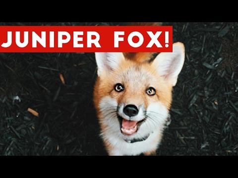 Funniest Juniper Fox Video Compilation | Funny Pet Videos