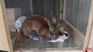 Gambar cover Breeding Like Rabbits | More Bunnies!