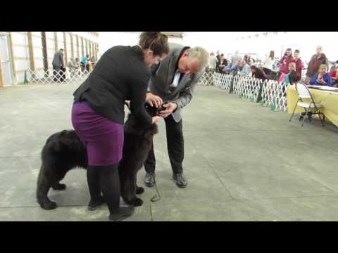 Newfoundland Junior and Senior Puppy Bitch Classes Sept 24 Burlington KC