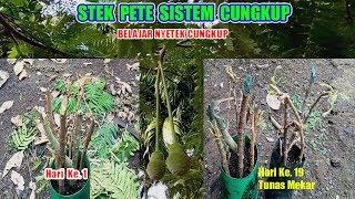 Gambar cover CARA MUDAH MENYETEK BATANG PETE 19 HARI BERTUNAS # BELAJAR STEK SUNGKUP