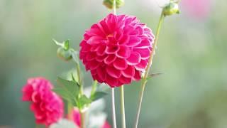 ダリアの花言葉は「感謝」。いつか誰かに感謝の気持ちを伝えるときは、...