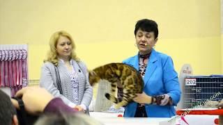Бенгальская кошка на выставке 14 февраля 2015 года, в Харькове Шоу