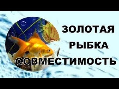 Золотые рыбки. Совместимость аквариумных рыбок.