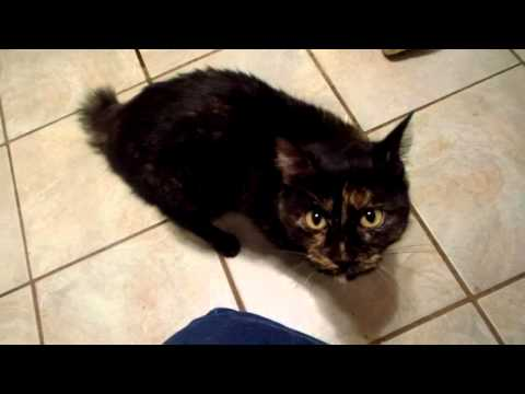 Adopt A Cat, Inc. Cats & Kitten: 'Sparkle' The Manx Tortoiseshell Cat
