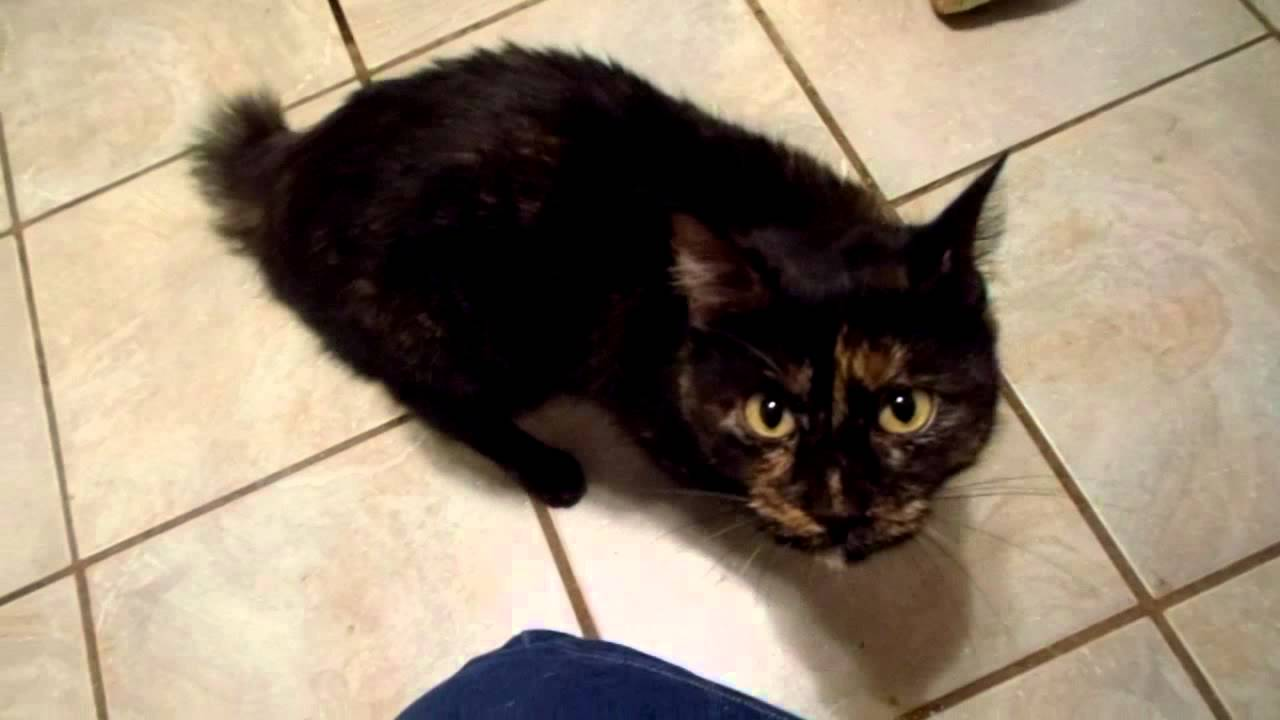 adopt a cat inc cats amp kitten sparkle the manx