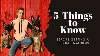 Before you get a Belgian Malinois