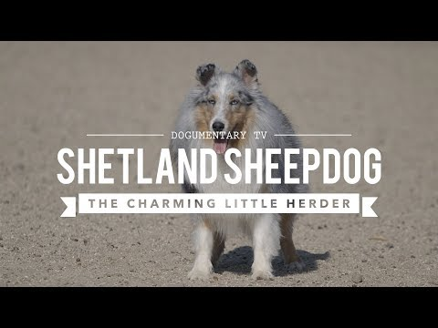 ALL ABOUT HERDING: SHETLAND SHEEPDOGS