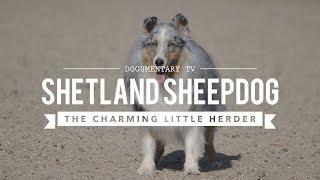 ALL ABOUT HERDING: SHETLAND SHEEPDOGS