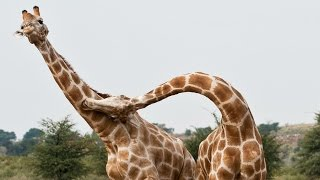 Combat De Girafes Violent - ZAPPING SAUVAGE