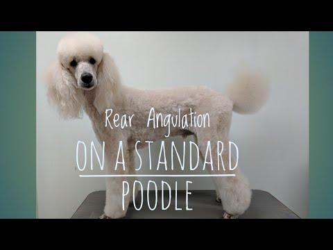 Rear Angulation on a Standard  Poodle/Scissoring the back leg