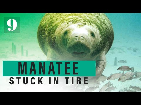 Pet Central - Search is on for a manatee with a bicycle tire wrapped around it