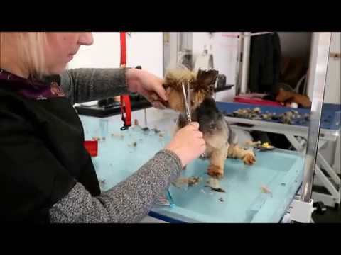 HOW TO GROOM A YORKIES FACE