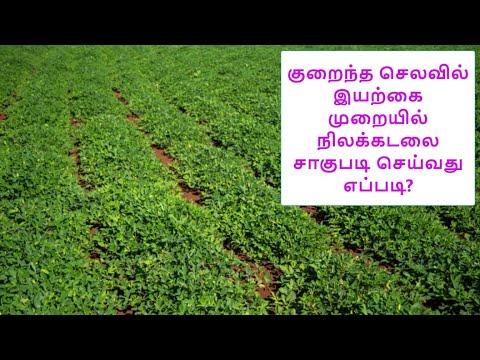 குறைந்த செலவில் இயற்கை முறையில் நிலக்கடலை சாகுபடி செய்வது எப்படி?   Organic Peanut Cultivation