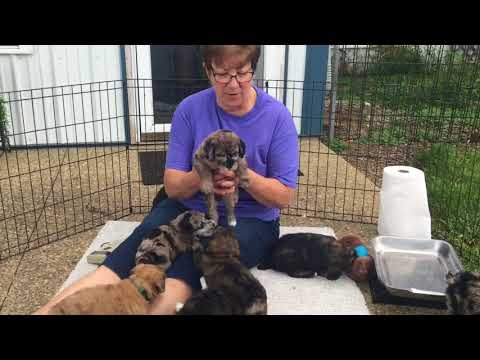 Mystic's standard schnoodle puppies 8-30-18