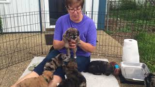 Mystic's standard schnoodle puppies 83018