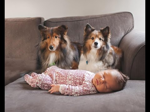 Surely you want to see: Sheltie Dog and Baby happy playing together - Dog and Baby Videos