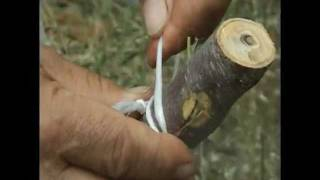 HOW TO GRAFT FRUIT TREES in Krete: pear almond lemon citrus  trees