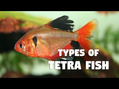 Different Types Of Tetra Fish Youtube