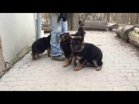 German Shepherd Dog Puppies for sale