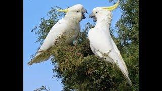 Top Hits -  Burung Kakak Tua Belajar Dan Bernyanyi
