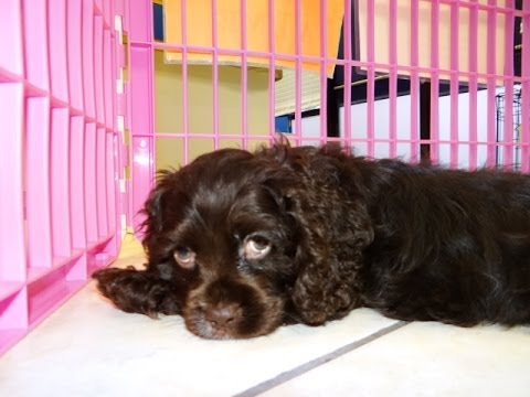 Cocker Spaniel Puppies Dogs For Sale In Jackson Mississippi Ms