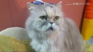 Тётушка Мэри - Персидская кошка долгожитель.
