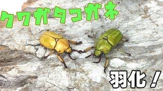【緑&黄!】クワガタコガネの羽化・掘り出し Kibakoganea dohertyi 【Part2:羽化・掘り出し編】