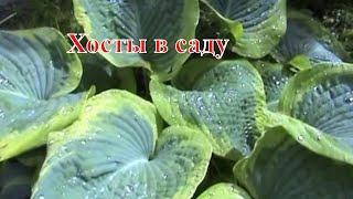 видео Хосты в саду и на даче: как размножать и ухаживать за растением, ландшафтные хитрости