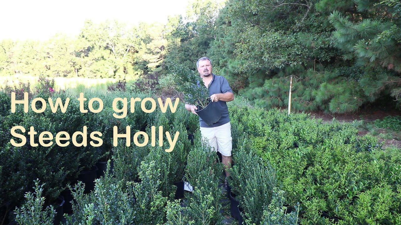 Steeds Holly Grows Like A Christmas Tree And Makes A Great