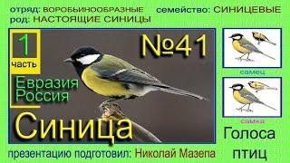 Синица. Россия Евразия. Голоса птиц