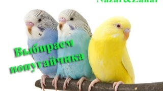 Покупаем попугайчика Как же назвать? / Назар и Захар We buy a parrot. How to call?  Crimea