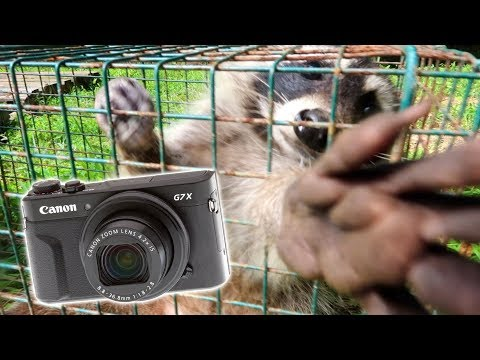 HE GRABBED MY CAMERA! (Raccoon Trapping)