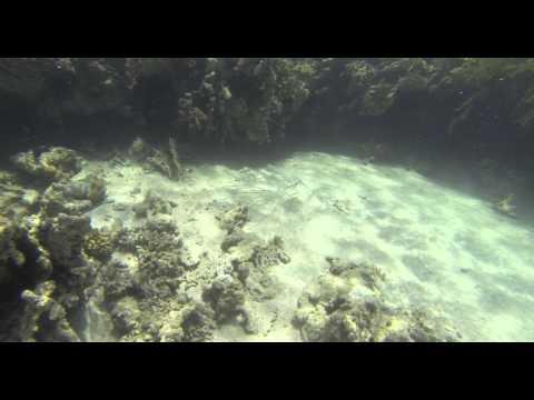 Tube Fish - Röhrenfische - CC BY-NC-SA Royalty Free