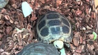 Elongated Tortoises For Sale. Buy at Big Apple Pet with Same Day Shipping.