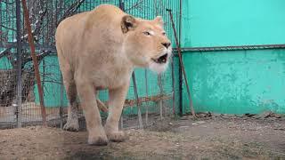 Белая львица ГЕРДА  зовет  РИЧАРДА  ! Тайган .Крым .