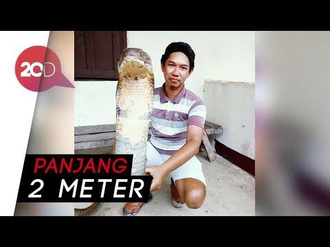 Geger King Cobra Raksasa di Gorontalo