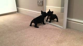 Paco 8 weeks French bulldog first barking to the mirror