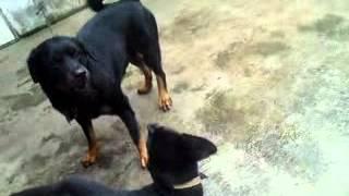 Rottweiler Ataca Cenas Impressionantes! (rotwailer Rotvailer) Rottweiler Attacks