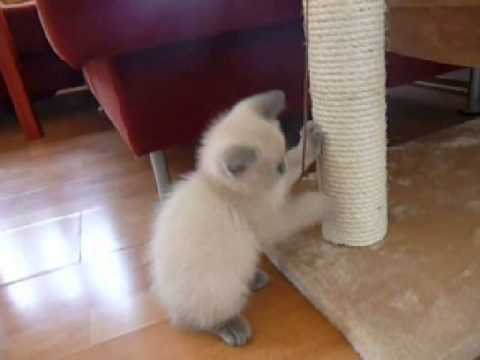 How to teach cat or kitten to use scratching post or cat tree