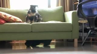耍 我 - Scottish Terrier And Schnauzer Playing, Taiwanhappy.com