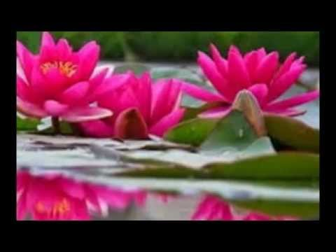 the real lotus flower in the pond, Natural flower