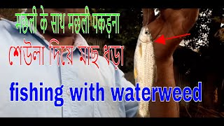 how to use waterweed for bait-सेउला दीया मछली पकड़ना-সেউলা দিয়া মাছ ধড়া
