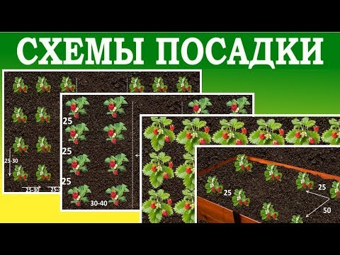 Как лучше посадить клубнику. Схемы посадки клубники для различных участков