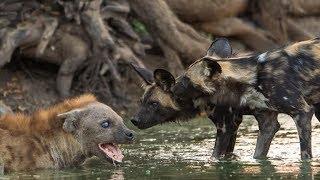 Hyena vs Anjing Liar Afrika | Pertarungan Abadi di Alam Liar