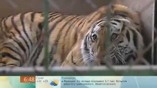 Паспорт для тигра