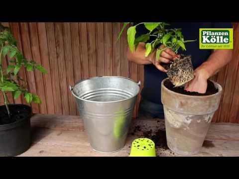 Paprika Einpflanzen In Ein Gefass I Pflanzen Kolle Youtube