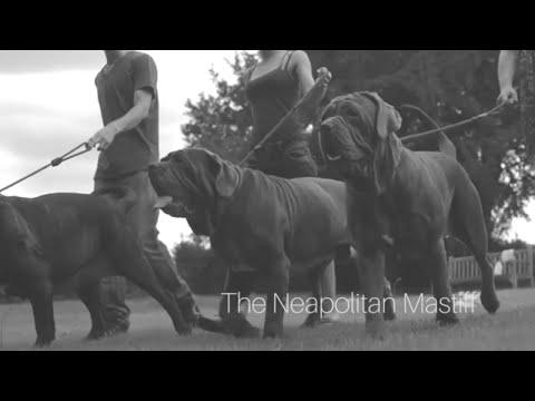 Our Neapolitan Mastiffs - @ Giovanni Mastiff